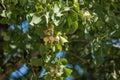 Gingko biloba leaves and seeds Royalty Free Stock Photo