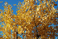 Gingko tree Stock Photo