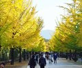 stock image of  Gingko trees alley in japanese park