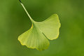 Ginkgo biloba close up on tree leaves Stock Photos