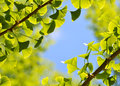 Ginkgo biloba green leaf background and frame Royalty Free Stock Image