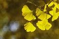 Ginkgo biloba leafs Royalty Free Stock Photo