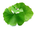 Ginkgo biloba leaves. Royalty Free Stock Photo