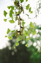 Ginkgo biloba tree in spring beautiful detail of a pure and fresh leaves shallow focus is one of the most popular Royalty Free Stock Photo