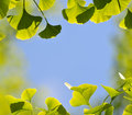 Ginkgo leaves and blue sky framing Stock Images