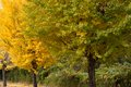 Ginkgo tree in autumn Royalty Free Stock Photo