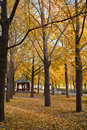 Ginkgo tree in autumn and the golden color leavies fall on the ground Royalty Free Stock Image
