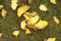 Ginkgo tree leaves on grassplot Stock Photography