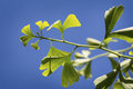 Ginko leafes against blue sky Royalty Free Stock Image