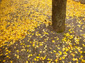 Ginko leaves on the ground Royalty Free Stock Photos