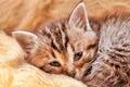 Giovane kitten sleeping Fotografia Stock Libera da Diritti