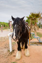 Gipsy vanner horse a portrait of a Royalty Free Stock Photography