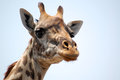 Girafa Foto de Stock Royalty Free