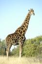 Girafa franklin nature reserve em bloemfontein Fotos de Stock