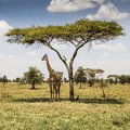 Girafe en tanzanie Photos stock