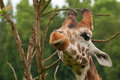 Giraffa camelopardalis exotic animals kept and displayed at the zoo Stock Images