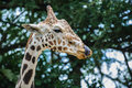 Giraffa camelopardalis a female giraffe licking her lips Royalty Free Stock Photos