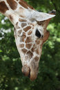 Giraffa camelopardalis head close up Stock Image