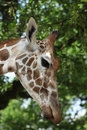 Giraffa camelopardalis head close up Royalty Free Stock Photography