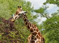 Giraffa camelopardalis the highest mammal Royalty Free Stock Photo