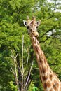 Giraffa camelopardalis the highest mammal Royalty Free Stock Photos