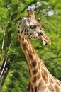 Giraffa camelopardalis the highest mammal Stock Photo