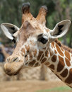 Giraffe. Photographie stock