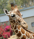Giraffe. Foto de Stock Royalty Free