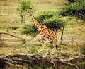 Giraffe on African savanna Stock Photography