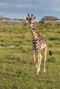 Giraffe in the African savannah Royalty Free Stock Photo