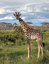 Giraffe in the African savannah Stock Images