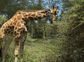 Giraffe in the african savannah in their natural habitat Royalty Free Stock Photography