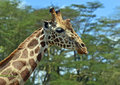 Giraffe in the african savannah in their natural habitat Royalty Free Stock Photos