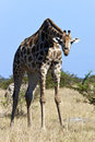 Giraffe - African Wildlife - Botswana Royalty Free Stock Images