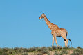 Giraffe against a blue sky Royalty Free Stock Photo