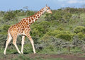 Giraffe agrainst green bushy background Royalty Free Stock Photo