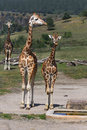 Giraffe animal giraffes camelopardalis rothschildi giraffes standing near the water supply Stock Photo
