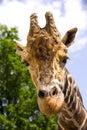 Giraffe artiodactyl mammal africa herbivorous animal neck ergot Royalty Free Stock Image