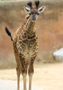 Giraffe a baby gets ready to run Royalty Free Stock Photos