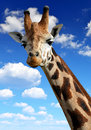 Giraffe on the background blue sky Stock Photography