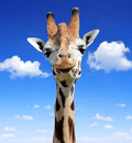 Giraffe on the background blue sky Royalty Free Stock Image