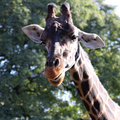 Giraffe beautiful portrait wild nature fauna of our planet preservation of animals in the reserve Stock Photos