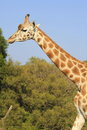 Giraffe a beautiful walking a round Stock Images