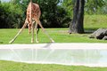Giraffe bending down to drink reticulated camelopardalis and getting ready in a pool of water in zoo miami south florida Royalty Free Stock Photos