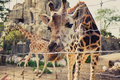 Giraffe bends down and looks into the camera through a fence Royalty Free Stock Photo