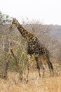 Giraffe browsing Royalty Free Stock Photo
