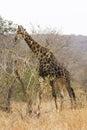 Giraffe browsing Royalty Free Stock Photo