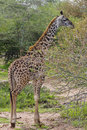 Giraffe browsing on thorny tree branches, Serenget Stock Photo
