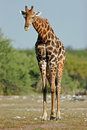 Giraffe bull Royalty Free Stock Photography