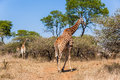 Giraffe bull females wildlife follows close to in mating season Royalty Free Stock Photos